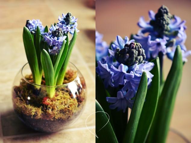 hyacinthduo